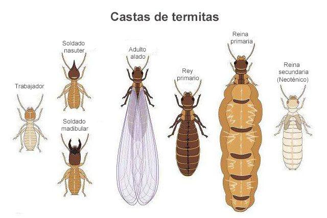 Castas de termitas