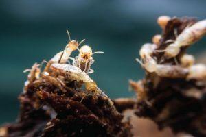 maneras de deshacerse de las termitas