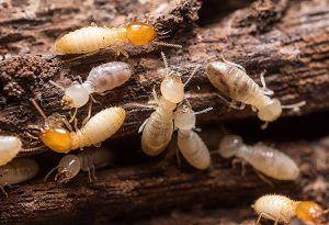 Cómo deshacerse en casa de las termitas con vinagre