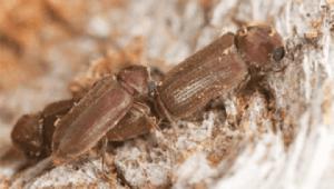 Ciclo de vida de la carcama - Escarabajos adultos