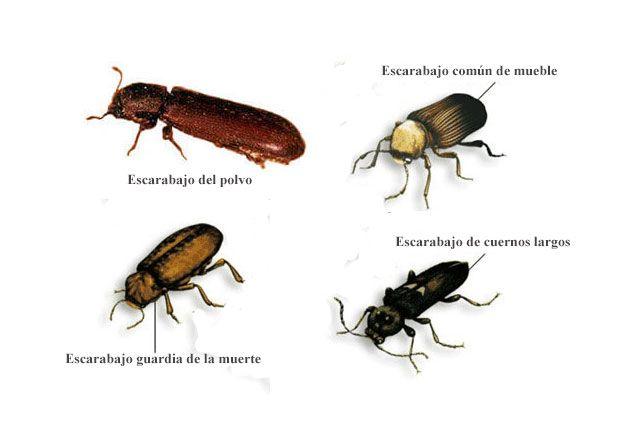escarabajos - carcoma