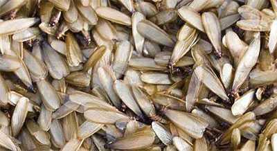 signos de termitas- termitas aladas