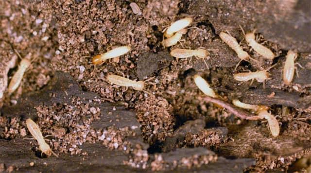 Signos de termitas subterraneas