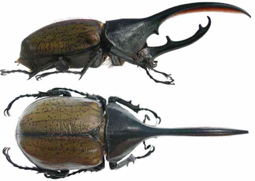 Escarabajo Hércules macho