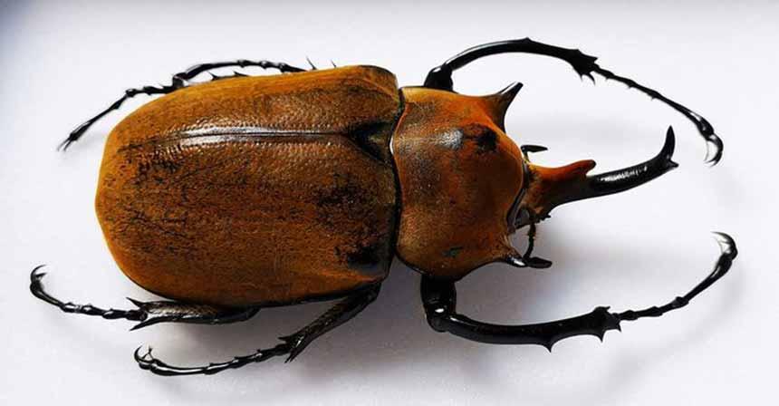 Escarabajo Rinoceronte Elefante