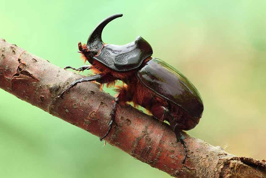 Escarabajo Rinoceronte Japones