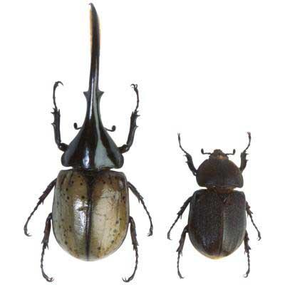 Escarabajos Hércules macho y hembra