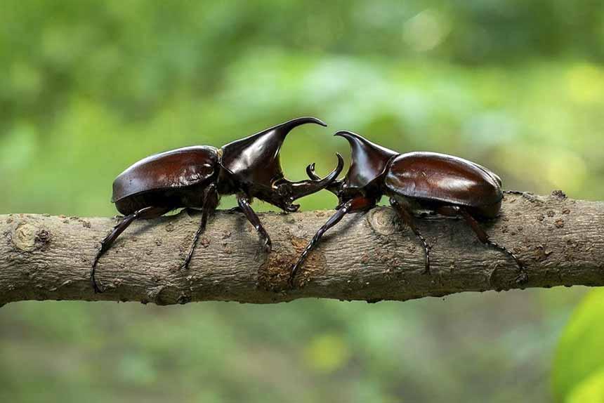 Escarabajos Hercules