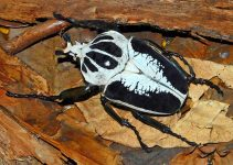 Goliathus: Escarabajos Goliat