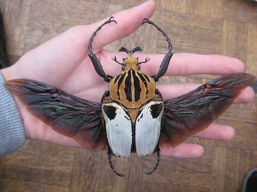 Escarabajos Goliat / Goliathus