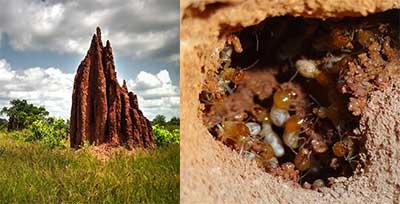 Termitas Africanas Constructoras de Montículos
