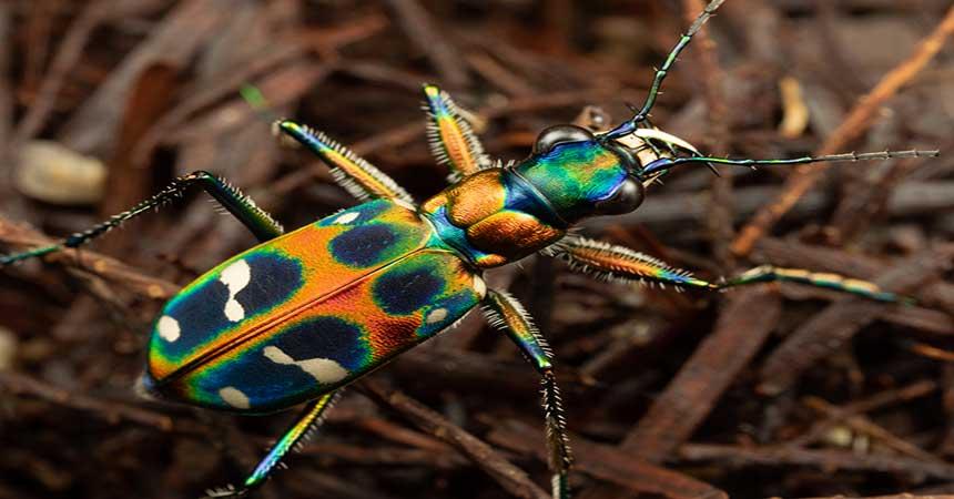 Escarabajo tigre Cicindela chinensis