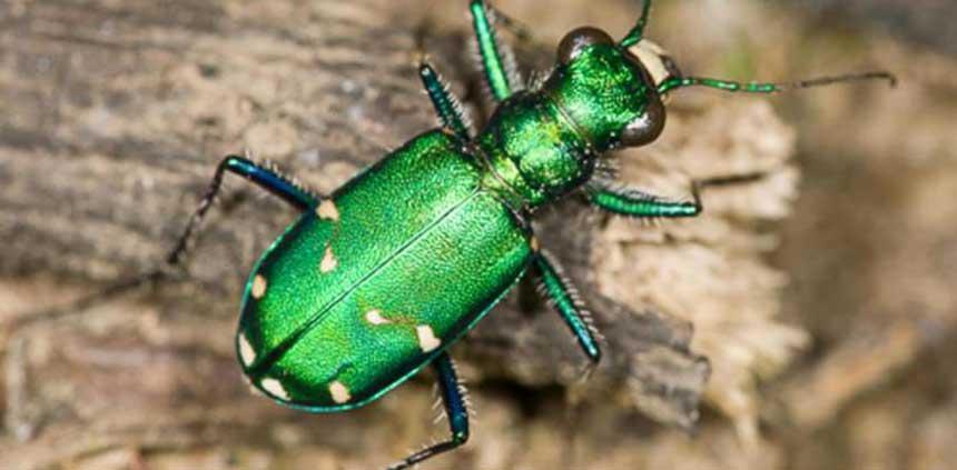 Cicindela sexgutata - Escarabajo tigre verde