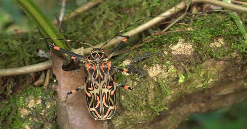 Escarabajo Arlequín / Aserrador Arlequín